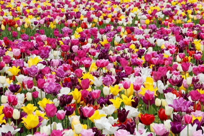 tulips-1405413_960_720